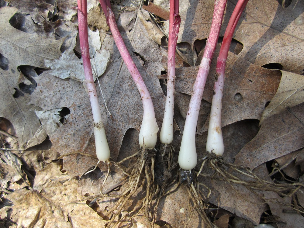 Local Wild Plant Profile: Ramps