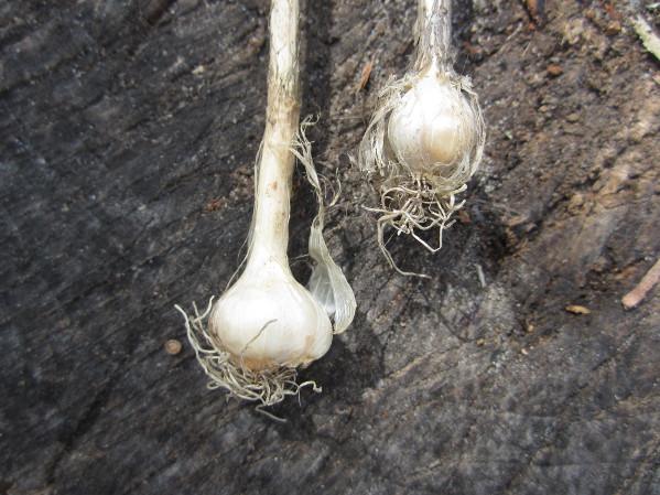 Local Wild Plant Profile: Wild Garlic | Sprout Distro