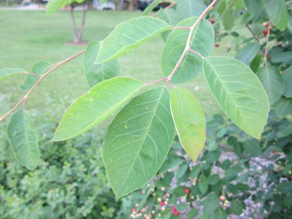 Local Wild Plant Profile: Juneberry | Sprout Distro