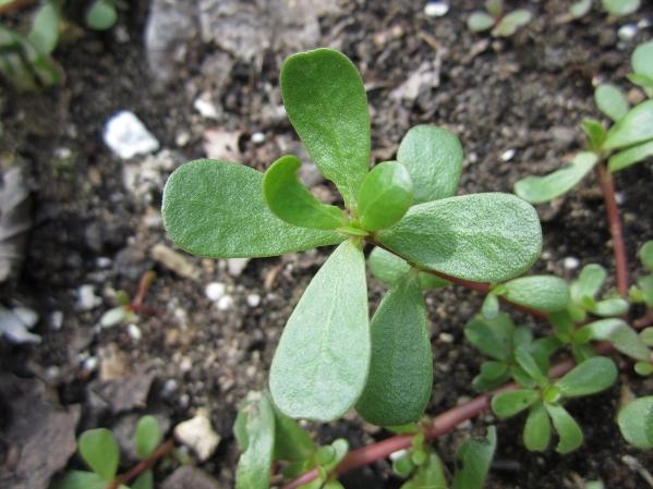 Rritet është në oborrin e të gjithë shqiptarëve, kjo bimë ...