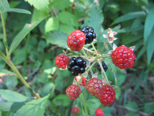 Local Wild Plant Profile: Blackberry