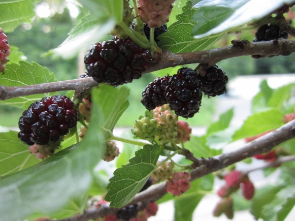 Local Wild Plant Profile: Red Mulberry