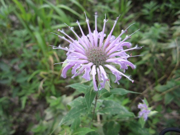 Local Wild Plant Profile: Wild Bergamot