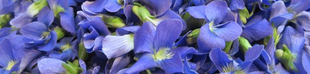 Local Wild Plant Profile: Blue Violet