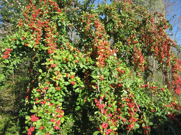 Local Wild Plant Profile: Crabapple | Sprout Distro