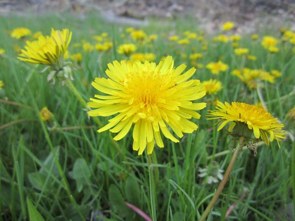 Local Wild Plant Profile: Dandelion